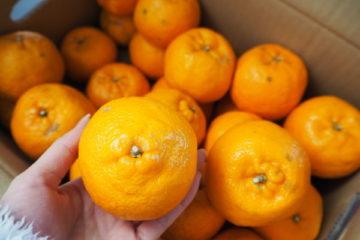 高知県東洋町のふるさと納税-おひさまのオレンジ5kg(ポンカン)